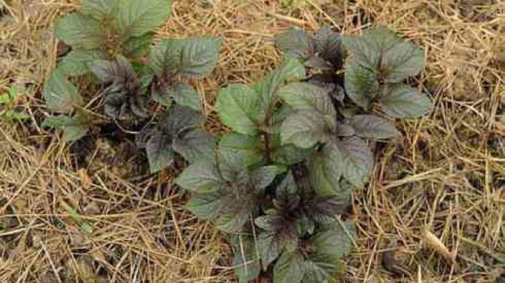 Китайский способ получить огромное количество картофеля из своего урожая - попробовать стоит!