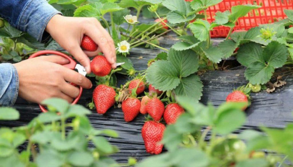Как получить богатый урожай клубники - следуйте этим советам, и вы получите более богатый урожай, чем когда-либо!